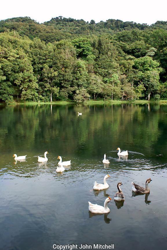 Domestic geese and ducks on an artificial pond at Finca Selva Negra coffee plantation near Matagalpa, Nicaragua