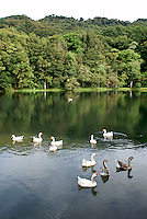 Domestic geese and ducks on an artificial pond at Finca Selva Negra coffee plantation near Matagalpa, Nicaragua