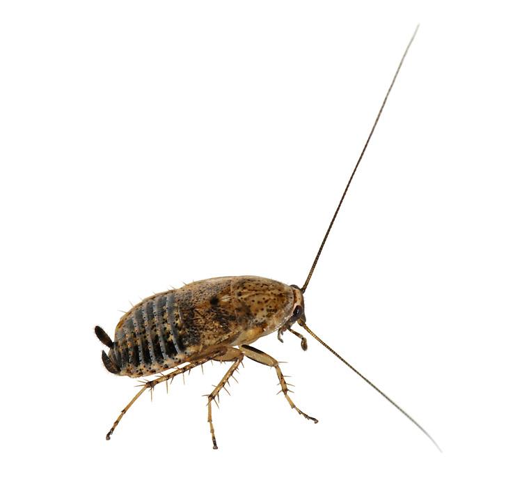 Lesser Cockroach - Ectobius panzeri - female