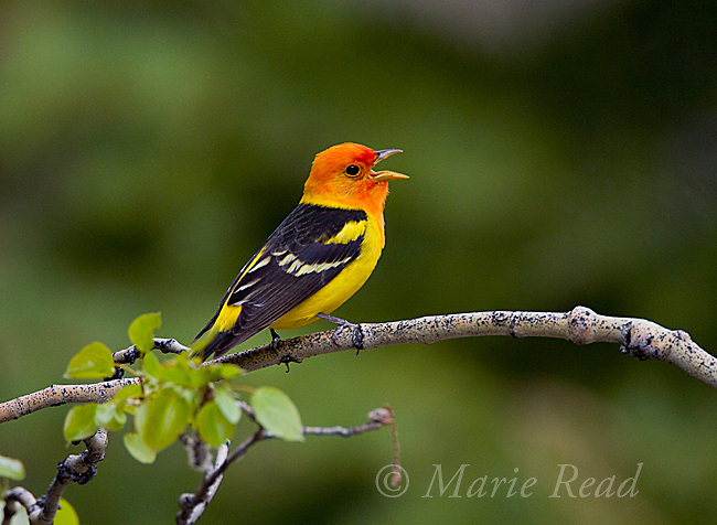 Western Tanager (Piranga ludoviciana ) male singing on aspen branch in spring, Lee Vining Canyon, Mono Lake Basin, California, USA