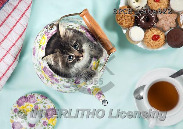 Xavier, ANIMALS, REALISTISCHE TIERE, ANIMALES REALISTICOS, cats, photos+++++,SPCHCATS822,#A#