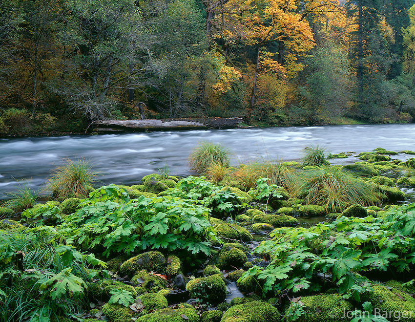 ORCAC_071 - USA, Oregon, Willamette National Forest, McKenzie River with moss-covered rocks, sweet coltsfoot and autumn-colored maples.
