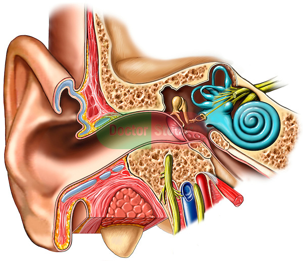 anatomy of the ear | doctor stock, Cephalic Vein