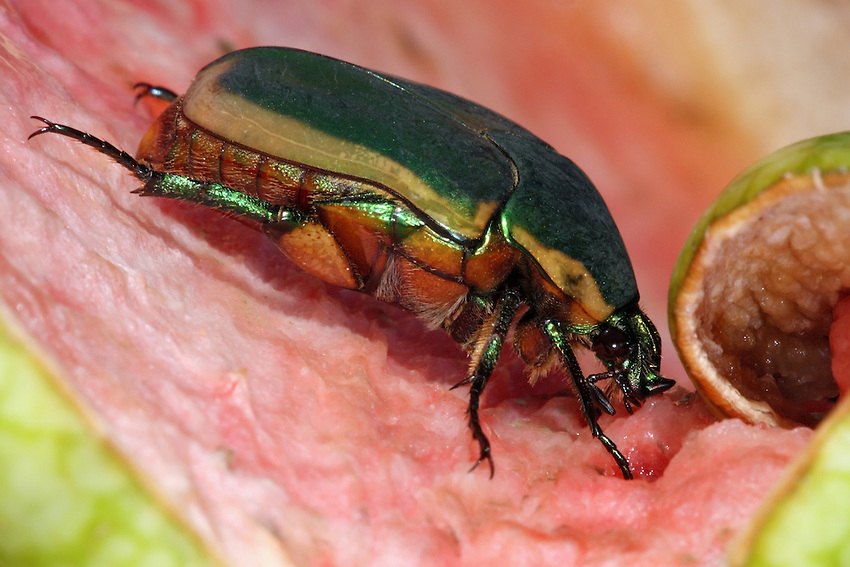 The Figeater Beetle (Cotinis mutabilis) is attracted to ripe (especially overripe) fruits. It occurs in the southern half of North America.
