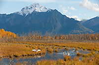 Migrating swans rest in a pond under Pioneer Peak in Alaska's Matanuska Valley.