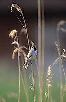 Rohrammer, Männchen im Schilf singend, Rohr-Ammer, Emberiza schoeniclus, reed bunting