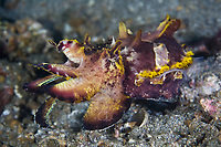 Subdued colors of a Flamboyant cuttlefish, Metasepia pfefferi, are typical when the animal is not alarmed. Brilliant color patterns occur when the animal is threatened. Lembeh Strait, North Sulawesi, Indonesia, Pacific Ocean