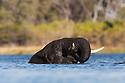 Botswana, Okavango Delta, Moremi Game Reserve, young African elephant bull (Loxodonta africana) bathing in river