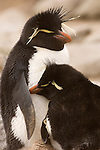 A pair of rockhopper penguins courting on West Point Island in the Falkland Islands.