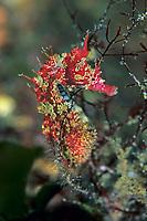 Horned seahorse, Hippocampus coronatus, Yawatano, Sagami bay, Izu peninsula, Shizuoka, Japan, Pacific Ocean