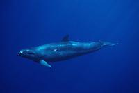 A false killer whale, Pseudorca crassidens,  cruises off the Kona Coast,  Hawaii.