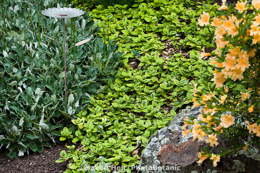 Variegated Carmel Creeper (Ceanothus griseus horizontalis 'Diamond Heights') evergreen groundcover shrub in California native plant garden with Buckwheat and Monkeyflower