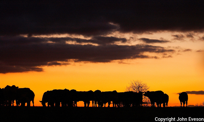 Beef cattle in a field with sunset, Taunton, Somerset.