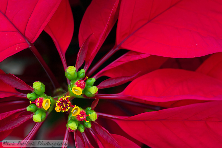 A closeup of a poinsettia flower cluster from directly above it. Many people confuse the bracts (red leaves) with the petals of flowers; they're quite different.   This macro shot shows a number of bracts (colored leaves associated with a flower) surrounding the flowers (green, red, and yellow structures) and extending out of the frame.  The flowers themselves are called cyanthia; the green tissue surrounding each flower is an involucre, a cluster of bracts (leaves) fused into a cup-shaped structure that contains multiple male flowers and one female flower within it.  Emerging from the involucre you can see red filaments supporting yellow anthers on the male flowers;  a single female flower will emerge from the center of each flower later.  The bright yellow, liquid-filled structures attached to the involucre are nectar glands filled with sweet nectar to attract pollinators; on less-developed flowers they look like little light-green lips.
