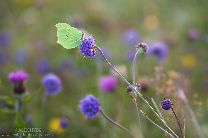 Brimstone butterfly {Gonepteryx rhamni} on Devil's-bit Scabious {Succisa pratensis}. Peak District National Park, Derbyshire, UK. August.