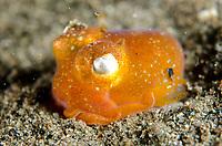 Golden Tropical Bottletail Squid, Sepiadarium kochi, on sand, Torpedo Alley dive site, Horseshoe Bay, Nusa Kode, south Rinca Island, Komodo National Park, Indonesia, Indian Ocean
