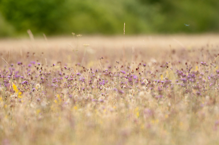 Common (black) knapweed, Centaurea nigra, in traditional hay meadow. Clattinger Farm, Wiltshire. UK. . This habitat has been reduced by 98% in the UK since the Second World War. This is largely due to the intensification of farming practices.