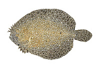 Brill Scophthalmus rhombus Length to 55cm<br /> Beautifully patterned flatfish. Superbly camouflaged against the sandy substrates that if favours. Adult lives with left side, and eyes, facing uppermost. Outline is broadly oval, anal and dorsal fins are broadest towards tail, and anterior rays of dorsal fin are separated into filaments. Locally common only in S and SW, north to Irish Sea.