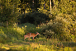White-tailed doe and fawn