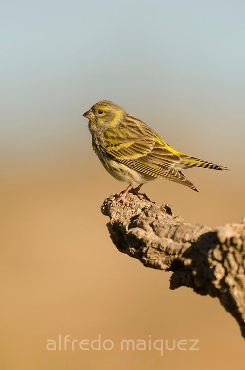 Serin (Serinus serinus) perched on a branch, Alicante, Spain