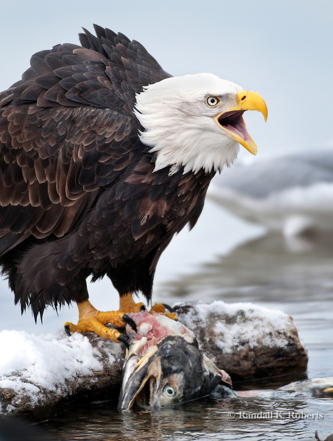Bald Eagle with salmon, Chilkat Bald Eagle Preserve, Haines, Alaska