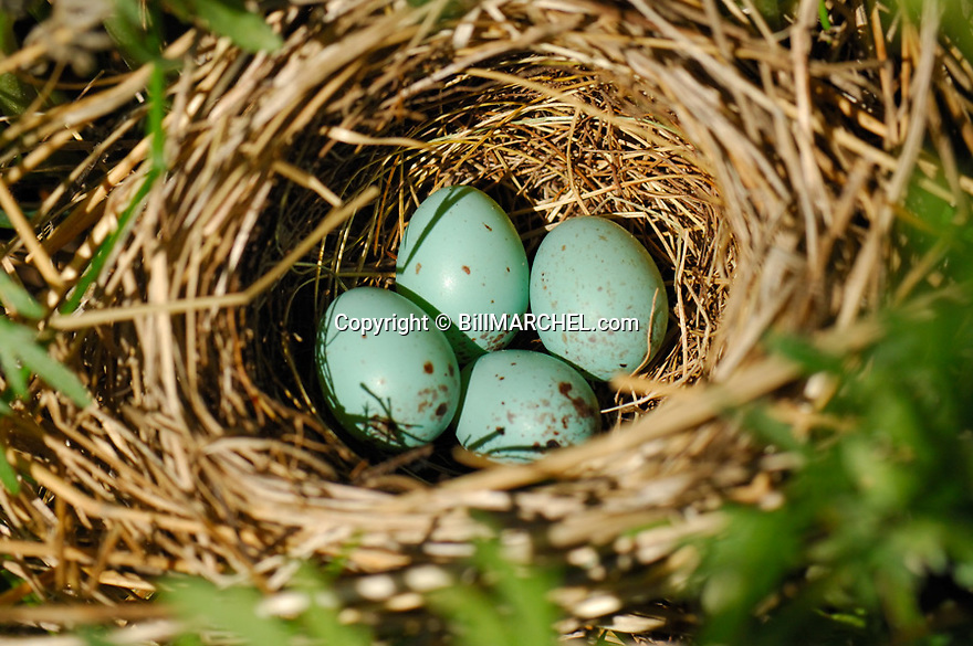 01087-001.02 Clay-colored Sparrow (DIGITAL) nest containing four light blue eggs with brown spots is in low clump of weeds.  H6E1