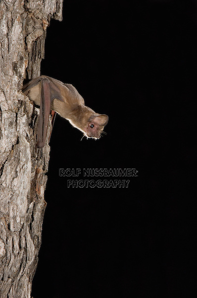 Mexican Free-tailed Bat, Tadarida brasiliensis, adult leaving day roost in tree hole, Willacy County, Rio Grande Valley, Texas, USA, June 2006