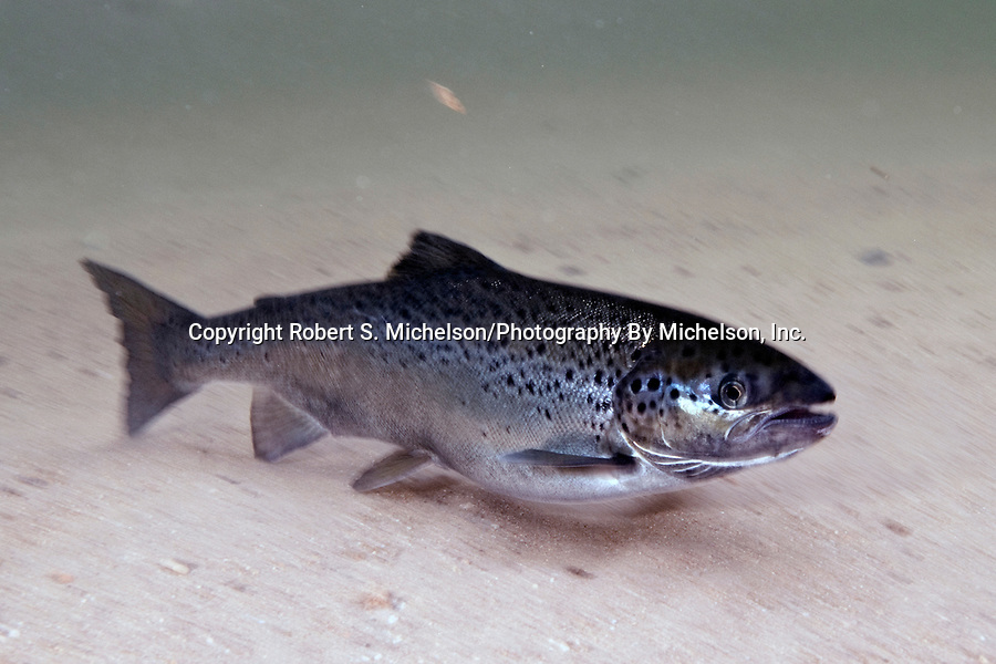 Landlock Atlantic Salmon female, Squam Lake, NH.