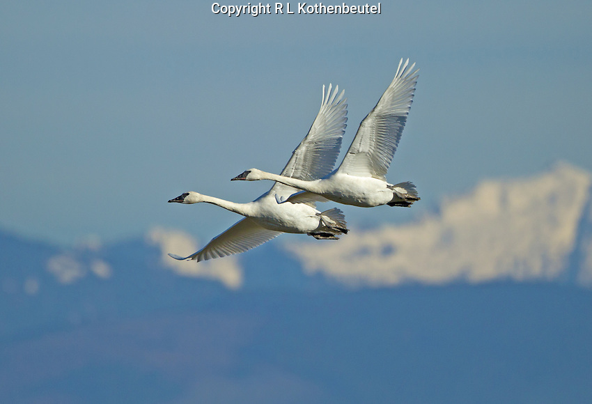 A pair of trumpeter swans flies through the blue sky as they pass before Mount Baker.<br />
