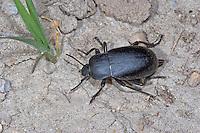 Totenkäfer, Ähnlicher Totenkäfer, Schwarzkäfer, Blaps lethifera, darkling beetle, Schwarzkäfer, Dunkelkäfer, Tenebrionidae, darkling beetles, flour beetles, mealworm beetles