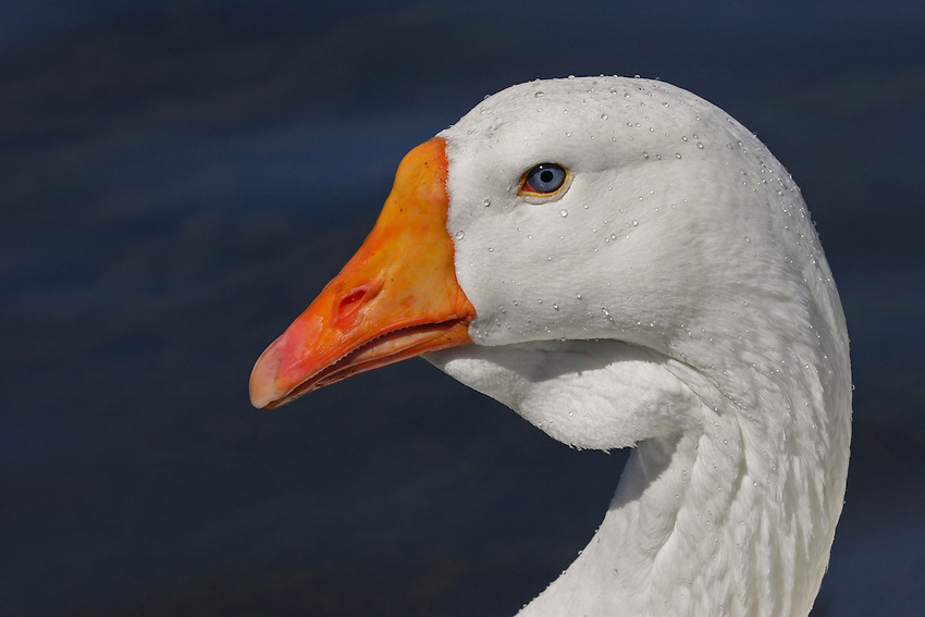 All I want for Christmas is a goose.. So GOOSE ME! ;)