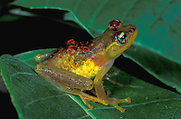 Red-backed Bright-eyed Frog (Boophis bottae), female with eggs in body, Andasibe-Mantadia National Park, Madagascar