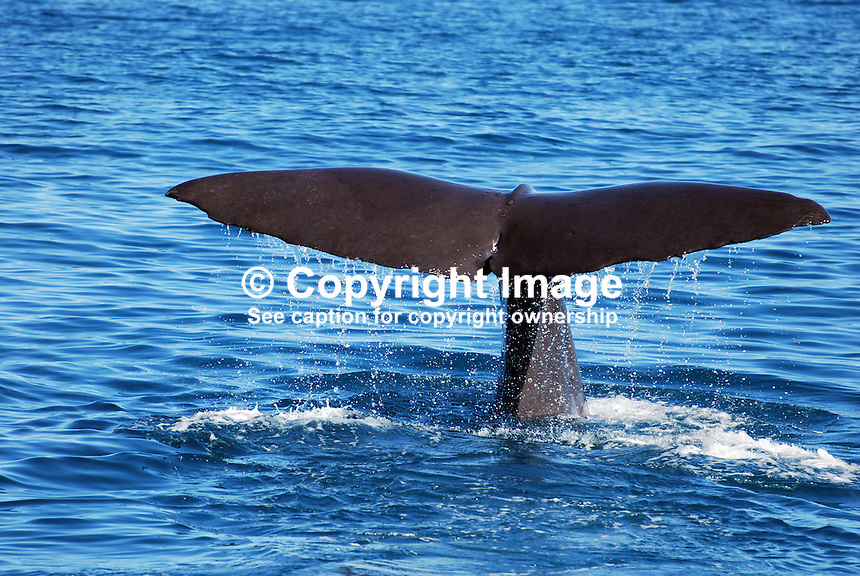 Sperm whale after oxygenating about to dive, off Kaikoura, South Island, New Zealand. 201004105240..Copyright Image from Victor Patterson, 54 Dorchester Park, Belfast, UK, BT9 6RJ..Tel: +44 28 9066 1296.Mob: +44 7802 353836.Voicemail +44 20 8816 7153.Skype: victorpattersonbelfast.Email: victorpatterson@mac.com.Email: victorpatterson@ireland.com (back-up)..IMPORTANT: If you wish to use this image or any other of my images please go to www.victorpatterson.com and click on the Terms & Conditions. Then contact me by email or phone with the reference number(s) of the image(s) concerned.