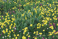 Wildflowers in alpine meadow,Heartleaf Arnica,Arnica cordifolia,False Hellebore,Indian Paintbrush, Bistort, Ouray, San Juan Mountains, Rocky Mountains, Colorado, USA
