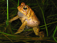 A male American Toad (Bufo americanus)making vocalizations for mating. The male has an air sack that inflates to make the charasteric call.  The female will respond to an attractive call.  This image was taken the last  week of April in Upstate New York.  The toads live in woodland forest and only return to swamp land to mate and lay their eggs.  The toads only mate for about three days.