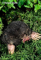 MB05-028b  Star-nosed Mole - at burrow opening - Condylura cristata