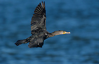 Double-crested Cormorant, Phalacrocorax auritus, adult in flight, Port Aransas, Texas, USA, January 2003