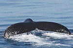 tail flukes of humpback whale