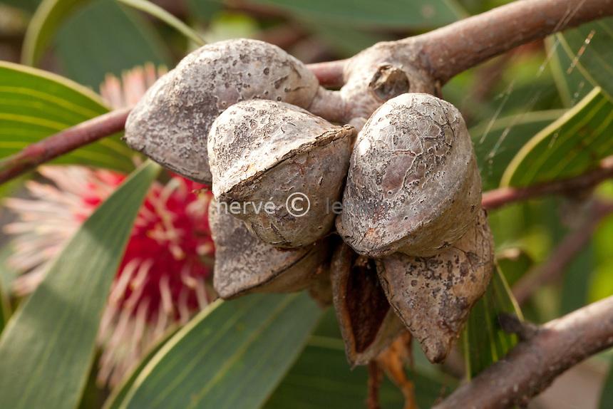 Domaine du Rayol en novembre : dans le jardin australien, Hakea laurina