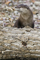 River Otter leaning on a log - CA