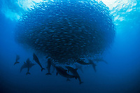 long-beaked common dolphins, Delphinus capensis, preying on a baitball of sardines or Southern African pilchards, Sardinops sagax ocellatus, during annual sardine run, South Africa, Indian Ocean