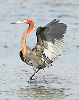 Adult intermediate color phase reddish egret fishing. Note white wing feathers.
