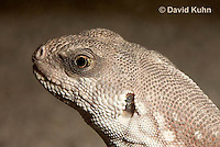 0611-1006  Desert Iguana (Mojave Desert), Detail of Head, Dipsosaurus dorsalis  © David Kuhn/Dwight Kuhn Photography