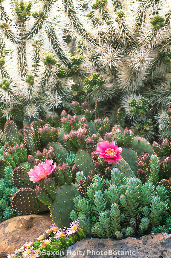 Colorado cactus drought tolerant succulent garden with flowering prickly pear - Opuntia basilaris, white spine Cylindropuntia whipplei, Sedum, Delosperma 'Keleidis'