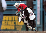 Whiplash rides a collie to herd sheep during the Reno Rodeo in Reno, Nev., on Friday, June 22, 2012..Photo by Cathleen Allison