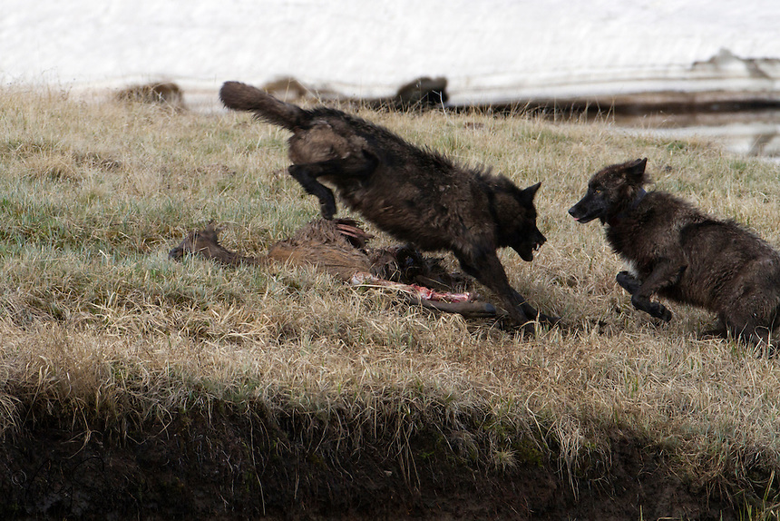 The gray wolf's (Canis lupus) expressive behavior is highly advanced among canids, being more complex than that of the coyote. Here, two members of Yellowstone's Canyon pack demonstrate some very expressive behavior. These more complex forms of communication are necessitated by the wolf's group living and hunting habits.<br />