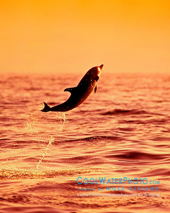 Pantropical Spotted Dolphin baby leaping at sunset, Stenella attenuata, off Big Island, Hawaii, Pacific Ocean.