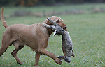 Foto: VidiPhoto<br /> <br /> DOORWERTH &ndash; In de weilanden rond kasteel Doorwerth in de gelijknamige plaatsen, strijden maandag achttien jachthonden om de titel&ldquo;Beste jachthond van Nederland&rdquo;. De zogenoemde Nimrod wordt jaarlijks georganiseerd waar achttien honden na een voorselectie aan deel mogen nemen. Iedere jachthond mag slechts eenmaal in zijn leven meedoen aan Nimrod. Van ieder jachthondenras wordt alleen de best presterende hond gevraagd om mee te doen. In totaal doen er elf verschillende rassen mee die in drie verschillende nagebootste jachtsessie het &lsquo;geschoten&rsquo; wild moeten binnenhalen. De soorten wild zijn vooraf aangeschaft via een poelier. Goed opgeleide jachthonden zijn onmisbaar voor de weidelijke jacht in Nederland. Een goede jachthond speurt het wild op en haalt het geschoten wild. Daarbij moeten zij zich niet door barri&egrave;res van water, riet, struiken et cetera laten hinderen, ze moeten de instructies van hun baas direct en goed opvolgen maar de jachthonden moeten ook zelfstandig kunnen werken. Nimrod trekt ieder jaar duizenden bezoekers uit binnen- en buitenland.