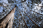 Karri trees tower overhead in the Boranup Karri Forest near Margaret River.  Leeuwin-Naturaliste National Park, Western Australia, AUSTRALIA.