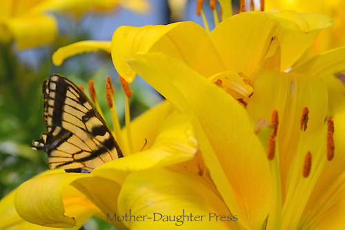 Swallowtail butterfly on day lilies in summertime